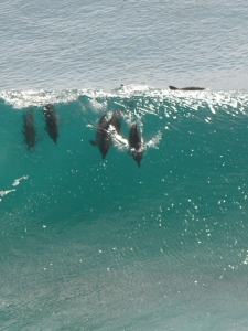 Dolphins surfing. Photo by BabyNuke.