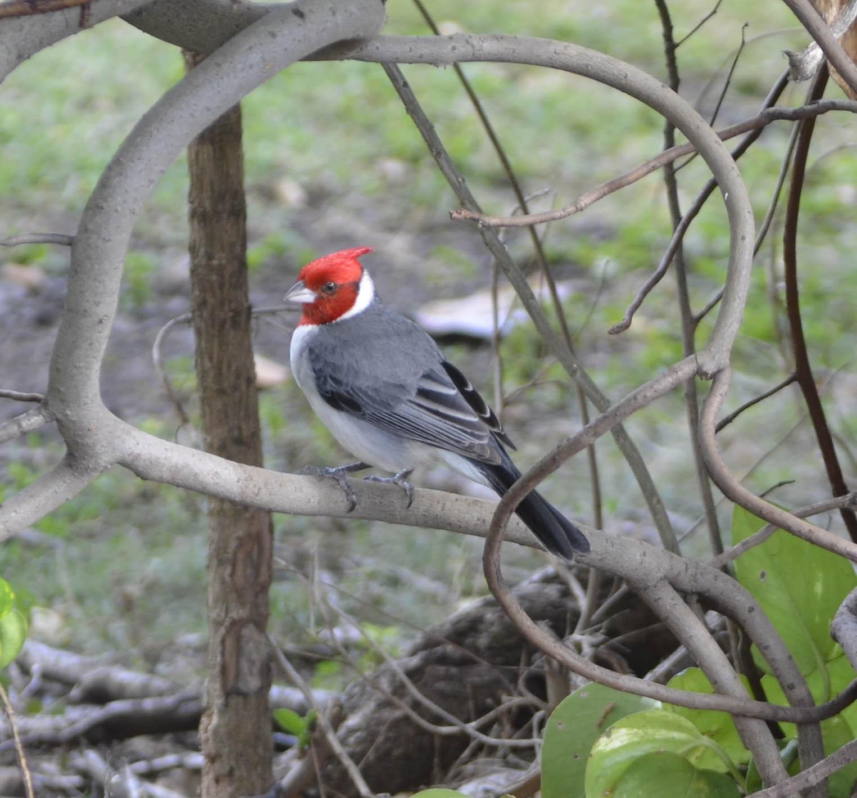 Crested  cardinal.