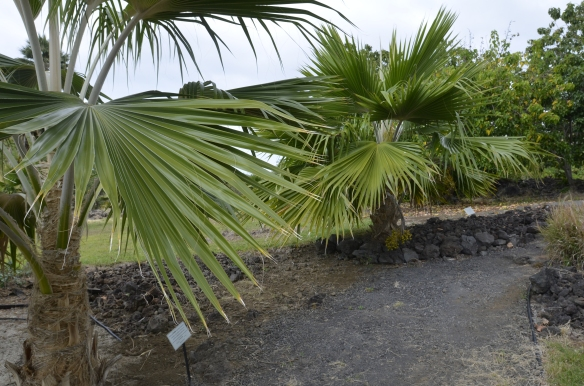 Native loulu palms at Greenwell Botanical Gardens. Highly endangered in the wild, although they once formed forests that carpeted the islands.