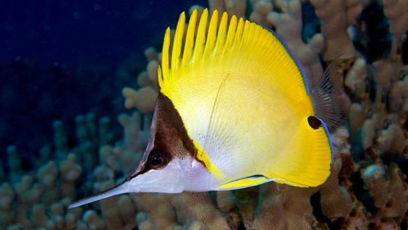 Longnose butterflyfish.