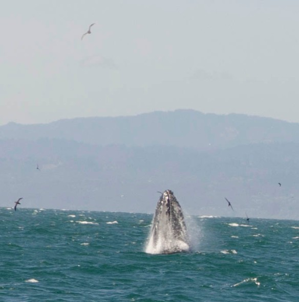 This is a picture of a humpback whale Tom took when we went whale watching in Monterey Bay.