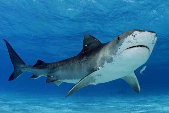 Tiger shark. I mean, come on. Is this something you want to go swimming with?