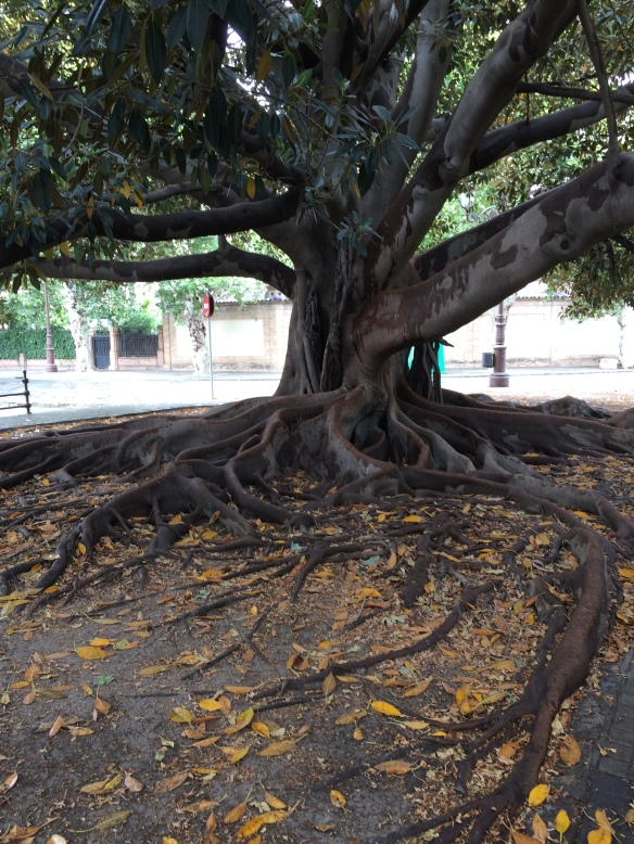 Magnificent old tree in central Sevilla