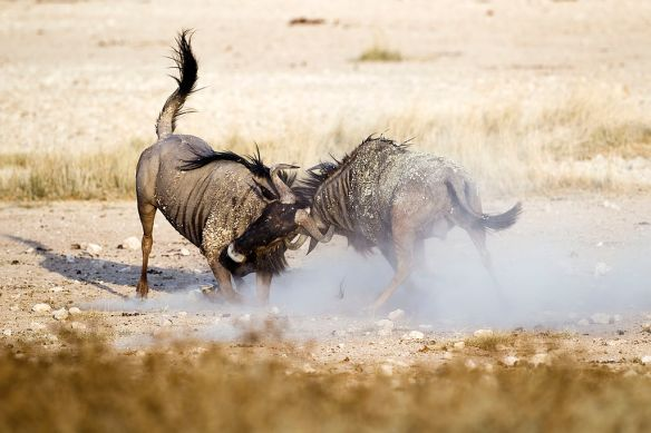 wildebeest-fight