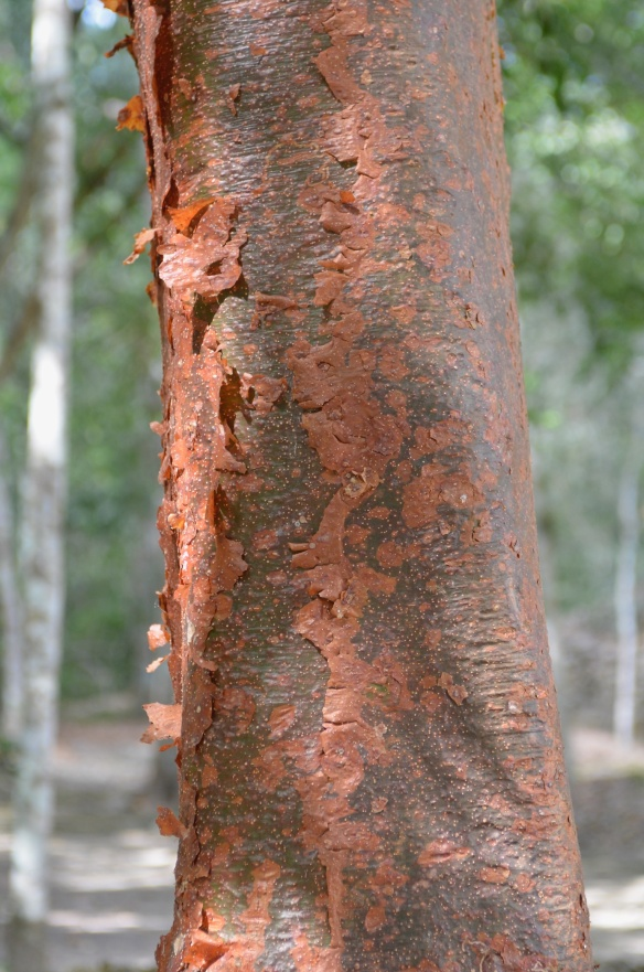 "I mentioned the chaka tree yesterday. it's also called ""la tourista"" because of its red, peeling bark."