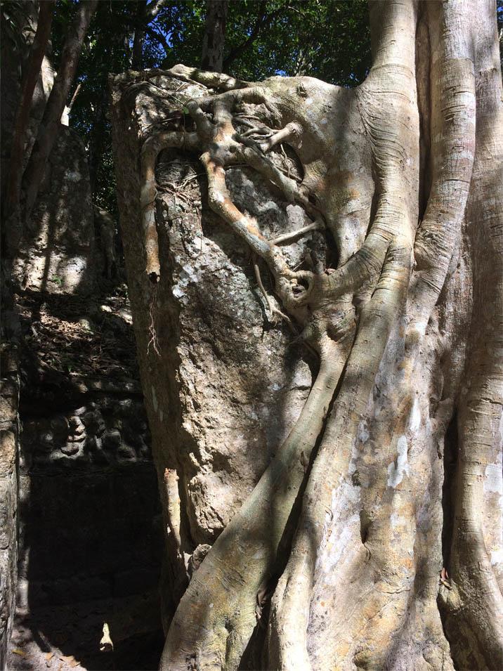 Strangler fig surrounding a captive stele.