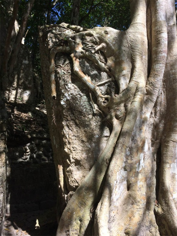 Strangler fig surrounding a captive stele.