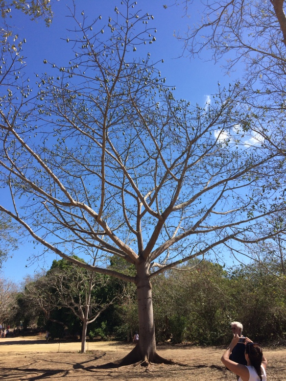 Ceiba tree, the Mayan tree of life.