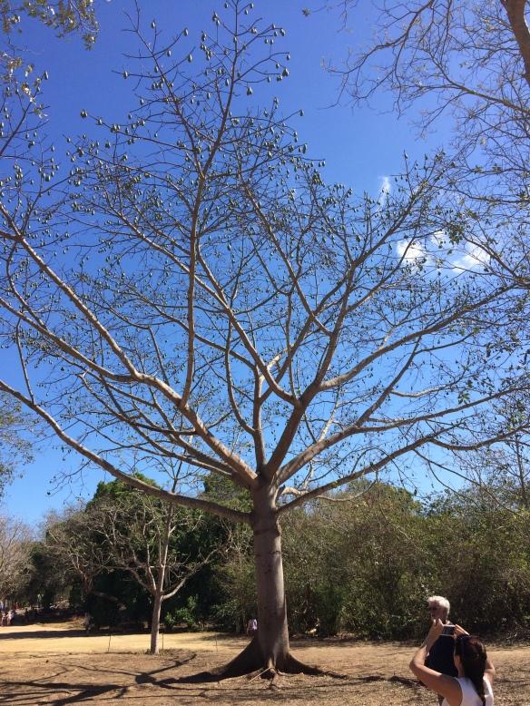 Ceiba tree, the Mayan tree of life.