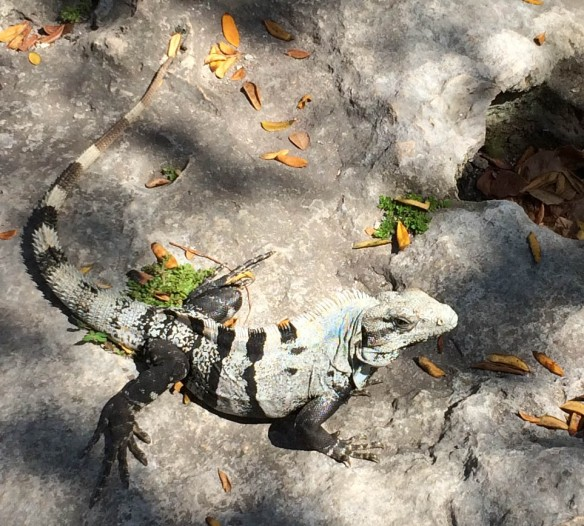 Because you can't have too many iguanas.