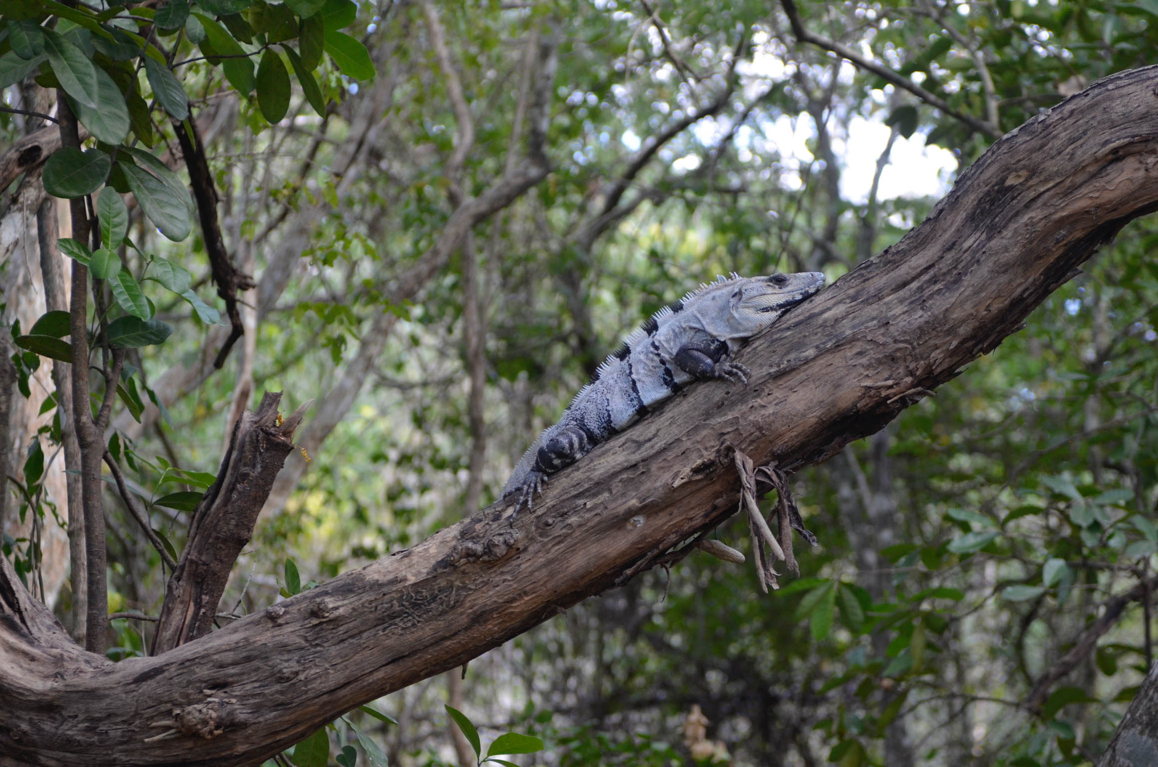 This sporty-looking iguana was one of the few interesting things we saw on the way to Uxmal.
