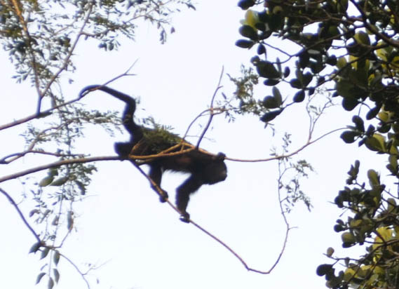 Spider monkey in the Calakmul Biological Reserve. This is about the best picture we got.